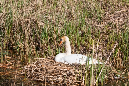 brooding: White Mute Swan is brooding on its nest in a natural pond.