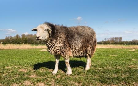 Herdwick ewe in wintercoat standing in a meadow in the spring season. photo