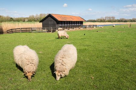 Drents Heath sheep in thick winter coat grazing in springtime  photo