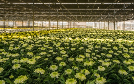 obscured: Green-hearted white blooming Chrysanths plants in an obscured flower nursery in the Netherlands.