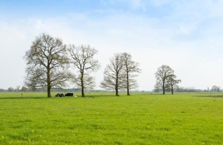 Verse groene weide in het voorjaar met gele bloeiende paardebloemen en herkauwende koeien liggen onder de ontluikende bomen.