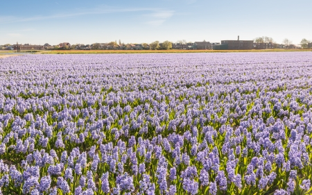 Lilac flowering hyacinths at a bulbs field of a Dutch nursery  photo