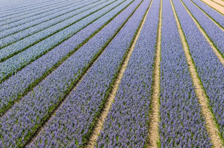 Lilac and blue blooming Hyacinth plants in the Netherlands  photo