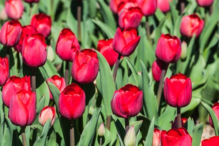 Red flowering tulip bulbs in the Netherlands. photo