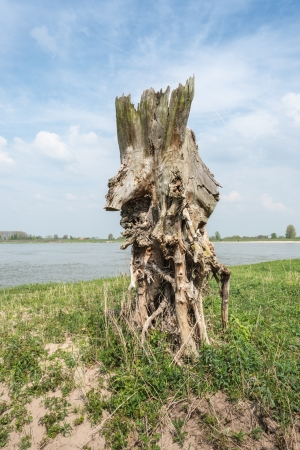 riverside tree: Oddly shaped and rotten tree trunk on the riverside.