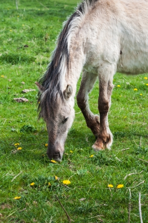 Closeup of the front part of a Polish primitive horse grazing  on grass in springtime. photo