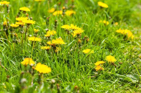 Dandelions between grass in wild nature  photo