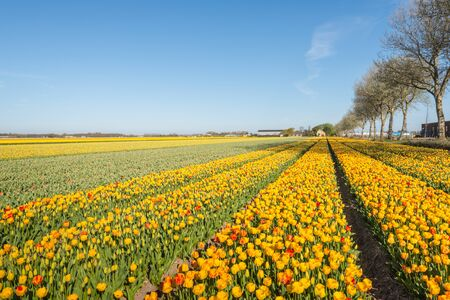 Budding and flowering tulip bulbs in various stages of bloom in endless rows in the Netherlands  photo