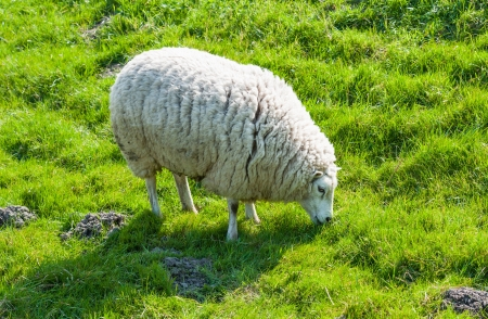 Sheep with a thick winter coat eats the tender spring grass photo