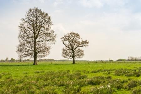 Twee ontluikende bomen in het gras van een vlakke poldergebied. Stockfoto