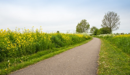 mustard field: Narrow bike path between yellow flowering Field Mustard and other wildflowers