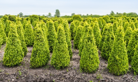 Jonge Buxus struiken groeien in een gespecialiseerde Buxus kwekerij in Nederland,