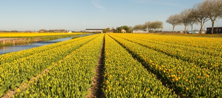 Budding and flowering tulip bulbs in mixes colors in nearly endless rows in the Netherlands. Stock Photo