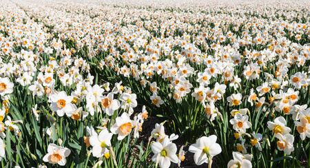 Field of a Dutch bulbs nursery with flowering white Daffodils with an orange trumpet  photo