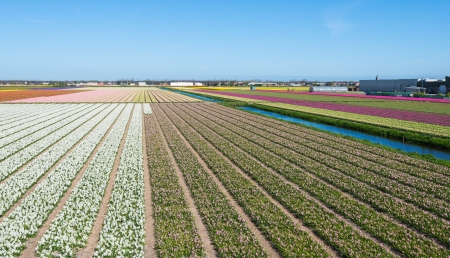 Field with in various colors blooming Hyacinth bulbs in the Netherlands photo
