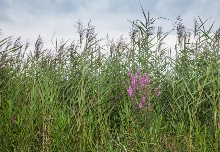 invasive plant: Purple loosestrife between blooming reeds. Stock Photo