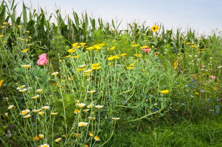 Wildflowers of various types and colors along the rim of a silage maize field in the Netherlands. photo