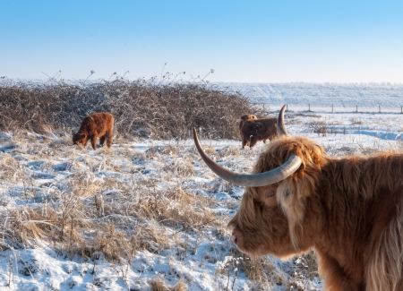 Rural landscape in winter with grazing Higlands cows  photo