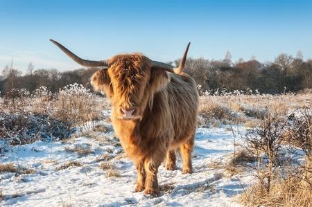 Hoogland koe in een harige winterjas staan in sneeuwlandschap. Stockfoto