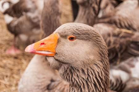 eyelids: Portrait of brown goose with an orange beak and eyelids.