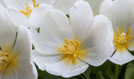 Yellwo stamens and pollen in wide opened white blooming tulips. photo