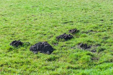 Grasland vroeg in de ochtend met vers gegraven molshopen.