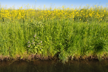 napus: Closeup of a ditch with the edge of a colorful field with blooming yellow rape plants in the spring season.