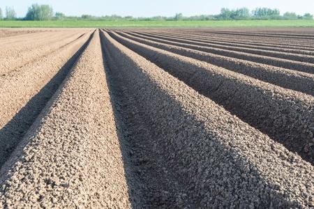 polder: Sunny potato ridges in a Dutch polder shortly after planting.
