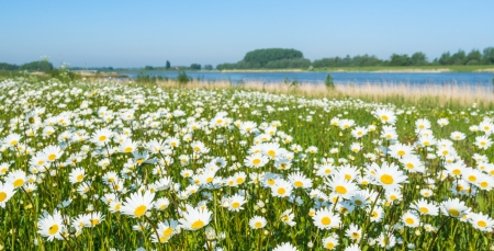 Plenty of blooming Common daisies at the banks of a Dutch river in the spring season. Stockfoto