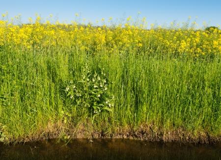 symphytum officinale: Bianco fioritura Comune Consolida circondato da erba e fiore di colza sul bordo di un fosso. Archivio Fotografico