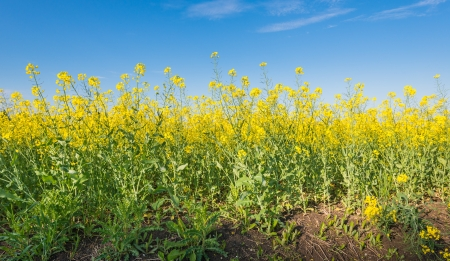 napus: Closeup of yellow flowering rapeseed plants growing in the fertile soil.