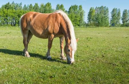 Brown horse with blonde manes eats grass in the meadow. photo