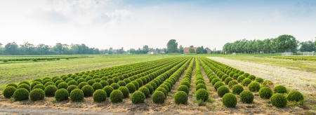Dutch nursery specializing in the cultivation of boxwood in the summer season  photo