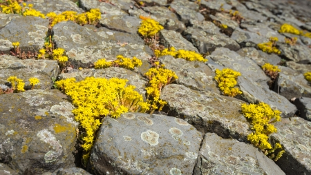 Yellow flowering Goldmoss Stonecrop or Sedum acre on and between the basalt blocks of a Dutch dike. Stock Photo - 20429980