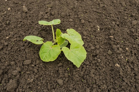 recently: Recently seeded cucumber plant in organic outdoor horticulture. Stock Photo