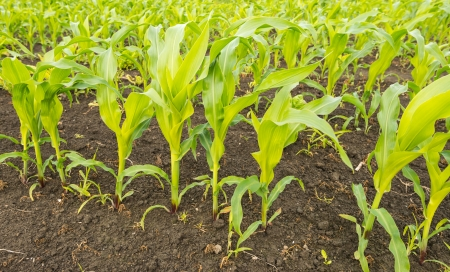 Jonge maïsplanten kuilvoer groeien in de vruchtbare bodem