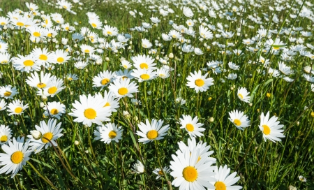 Closeup of plenty of blooming Common daisies in the spring season. photo