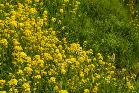 Wild mustard and grasses flourish along the waterfront in the spring season  photo