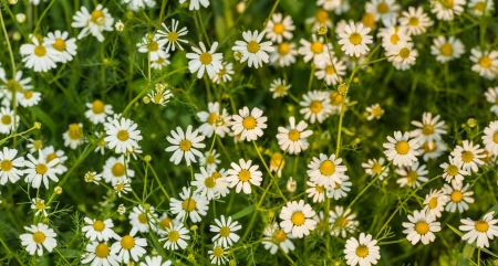 Closeup of white with yellow blooming and highly fragrant chamomile  photo
