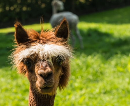 periwig: Portrait of a cute young brown llama with a white wig and big brown eyes. Stock Photo