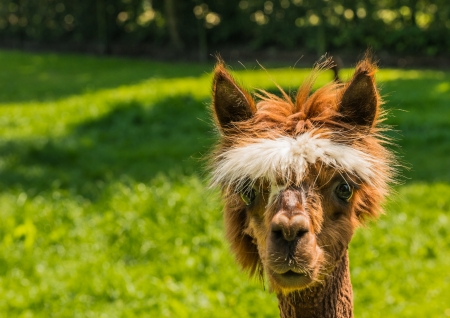 periwig: Young llama with a white wig looks at you with its big brown eyes. Stock Photo