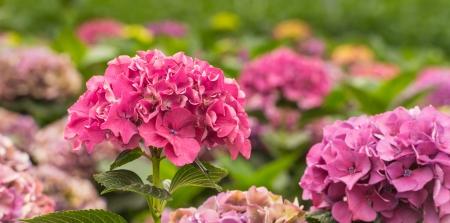 bigleaf hydrangea: Closeup of pink hydrangea flowers in a nursery of Hydrangea cut flowers for export. Stock Photo