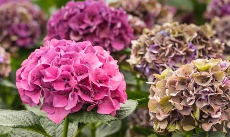bigleaf hydrangea: Blooming Hydrangea plant in a Dutch nursery of cut flowers for export.
