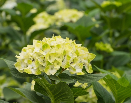 bigleaf hydrangea: White and yellow umbels of Hydrangea plants in a Dutch horticulture glasshouse Stock Photo