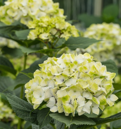 specialised: Yellow and white blooming Hydrangea plants in a cut flower  nursery specialised in Hydrangea flowers for export