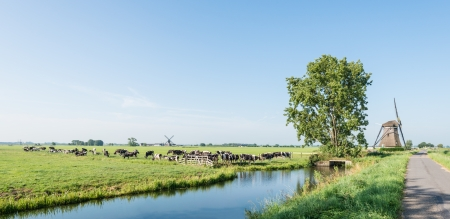 Dutch polder landscape with windmills and grazing cows in the pasture next to a ditch  Stock Photo