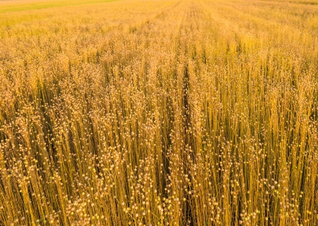 feedstock: Erect slender stems of Flax or Linseed with seed boxes growing in a large field and almost ready for harvesting  Stock Photo