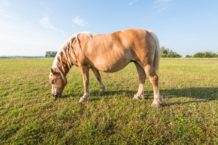 The blonde mane of the chestnut brown stallion are braided in pigtails  photo