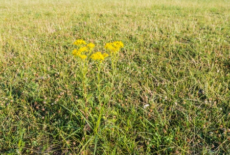 dutch clover: Large meadow with grass and clover and only one yellow flowering Narrow-leaved Ragwort plant