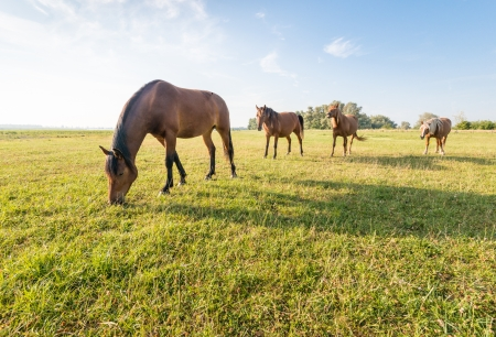 Four brown horses standing and grazing in a row in a sunny meadow in summertime  photo